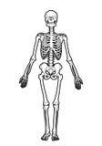 Human skeleton. Outline human skeleton on white background Stock Photos