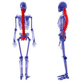 Human Skeleton over White Bad Back Royalty Free Stock Photos