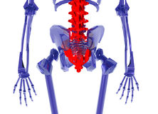 Human Skeleton over White Bad Back Royalty Free Stock Photo