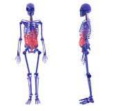 Human Skeleton over White Bad Stomach Royalty Free Stock Photography