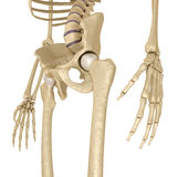 Human skeleton: pelvis and sacrum.  Isolated on white. Medically accurate 3D illustration Royalty Free Stock Images