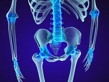 Human skeleton: pelvis and sacrum. Xray view. Medically accurate 3D illustration Royalty Free Stock Images