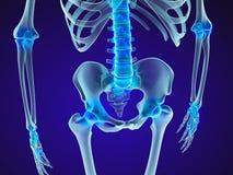 Human skeleton: pelvis and sacrum. Xray view. Royalty Free Stock Images