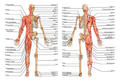 DR PLANSHA Schelet Fatza Spate 4. Human skeleton from the posterior and anterior view - didactic board of anatomy of human bony and muscular system vector illustration