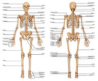 DR PLANSHA Schelet Fatza Spate 1. Human skeleton from the posterior and anterior view - didactic board of anatomy of human bony system vector illustration