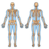 DR Schelet Fatza Spate 2. Human skeleton from the posterior and anterior view - didactic board of anatomy of human bony system vector illustration