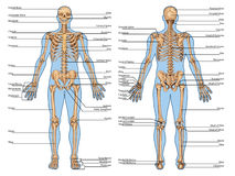 DR PLANSHA Schelet Fatza Spate 2. Human skeleton from the posterior and anterior view - didactic board of anatomy of human bony system stock illustration