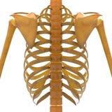 Human Skeleton Scapula with Ribs Royalty Free Stock Photo