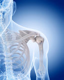 The human skeleton - the shoulder Royalty Free Stock Photo