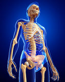 Human skeleton side view Stock Image