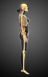 Human skeleton side view Royalty Free Stock Photos