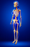 Human skeleton side view Stock Photography