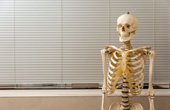 Human skeleton and skull Royalty Free Stock Image