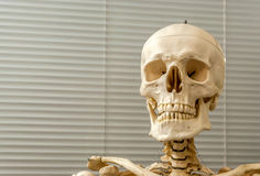 Human skeleton and skull. Decorative (model) human skeleton and skull in hospital royalty free stock images