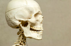 Human skeleton and skull. Decorative (model) human skeleton and skull in hospital stock photo