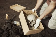 Human skeleton - skull - found and packed by archaeologist on location royalty free stock photo