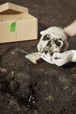 Human skeleton - skull - found and packed by archaeologist on location. Skull of human skeleton uncovered on summer terrain excavations in field location grave royalty free stock photo