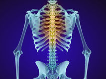 Human skeleton and spine. Xray view. Stock Photo