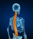 Human skeleton and spine. Xray view. Royalty Free Stock Images