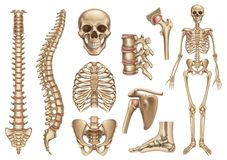 Free Human Skeleton Structure. Skull, Spine, Rib Cage, Pelvis, Joints. Anatomy And Medicine, 3d Vector Icon Set Stock Image - 141543741