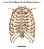 Human Skeleton System Bones Thoracic Skeleton Posterior View Anatomy. 3D Illustration of Human Skeleton System Bones Thoracic Skeleton Posterior View Anatomy vector illustration