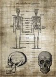 The human skeleton system, part of body Royalty Free Stock Photo