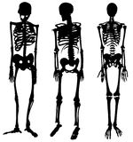 The human skeleton in three versions. Stock Photography
