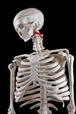 Human skeleton toy. Model human skeleton on a black background stock photo