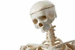 Human skeleton toy Royalty Free Stock Image