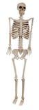 A human skeleton on a white background Royalty Free Stock Photo