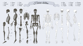 Human Skeleton. White and Black. Names of Bones Royalty Free Stock Photography