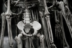 Human Skeletons Royalty Free Stock Photo