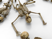 Human skeletons Royalty Free Stock Photography