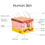 Human Skin Anatomy. Vector illustration of diagram of human skin anatomy vector illustration