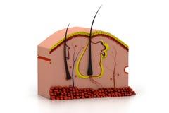 Human skin anatomy. Digital illustration of human skin anatomy Stock Photography