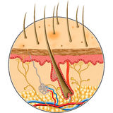 Human Skin inside structure. In isolate by illustration Royalty Free Stock Photography
