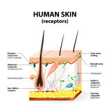Human skin layer vector cross section. Cross section human skin. The skin a sensory organ with a dense network of nerves. Pressure, vibration, temperature, pain Stock Photography