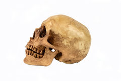 Human skul. Left side view of human skull open mouth on isolated white background Royalty Free Stock Photos