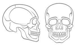 Human skull. On a white background stock illustration
