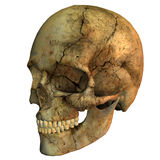 Human skull. 3d rendering of a human Skull side view as in illustration Stock Photos