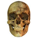 Human skull. 3d rendering of a human Skull in frontal view as an illustration Royalty Free Stock Photos