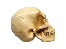 Human Skull. An isolated human skull stock photo