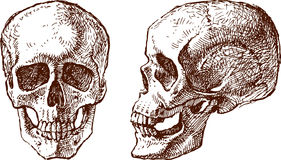 Human skull. The vector drawing of a human skull in style of a sketch Royalty Free Stock Images