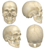 Human Skull. A illustration containing four views, front, side, rear, and angled front, of a human skull. Isolated on a solid white background Very educational Stock Photos