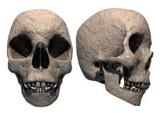 Human skull 3d render. A 3d render of a human skull shown in front and side view in a clay sculpure fashion Stock Photo