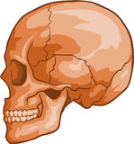 Human Skull. Vector illustration of Human Skull Stock Photography