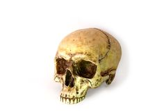 Human Skull. This is a gypsum of a real human skull. The gypsum is correct  in every anatomic detail. The photo is taken from a 2/3 perspective Royalty Free Stock Images