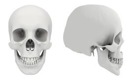 Human skull. 3d rendered human skull in two views Stock Photography