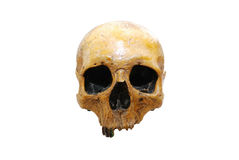 Human skull. Isolated on white - clipping path included royalty free stock image