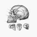 Human skull. Anatomical skull. Drawn in pencil on a white background stock image